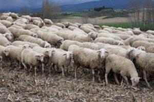 כבשים רועות. צילום מתוך Pixabay