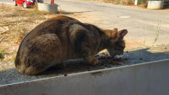 חתול שאדלר מאכילה צילום: טלי אלדר
